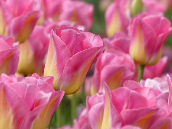 Tulpe Tom Pouce
