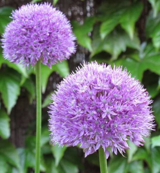 Allium macleanii (= A. elatum)