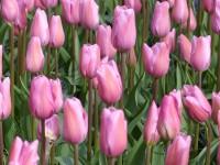 Tulpe Mistress - in großen Gruppen schön!