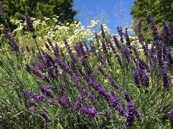 Lavendel - Lavandula angustifolia 'Dwarf Blue'