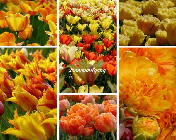 Tulpen in den Farben des Sonnenaufgangs