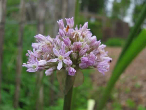 Allium loratum