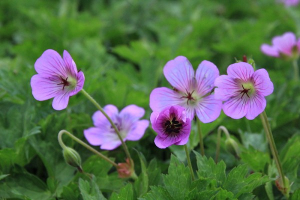 Geranium Bloom Time
