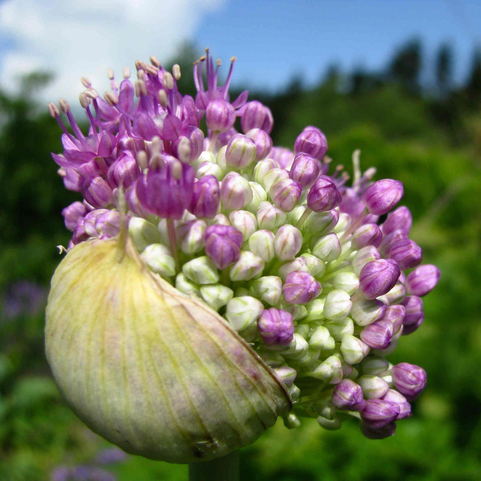 Alliumknospen - Zierlauchknospen
