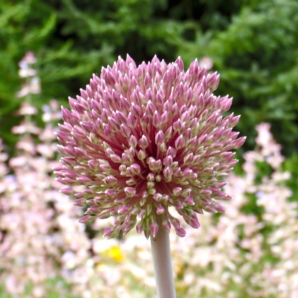 Allium 'Summerdrummer' 3 Stück