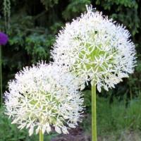 Allium hirtifolium Album