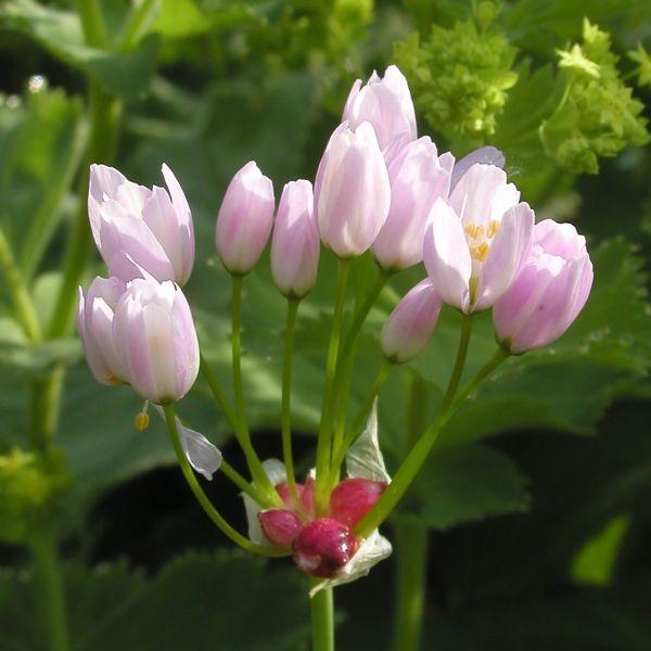 Allium roseum 20 Stück