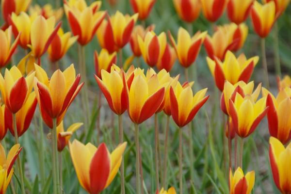 Wildtulpe - Tulipa clusiana 'Tubergens Gem'