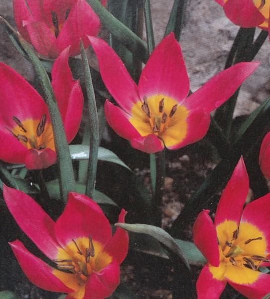 Tulipa pulchella 'Eastern Star'