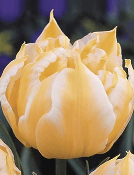 Tulpe Monte Sweet