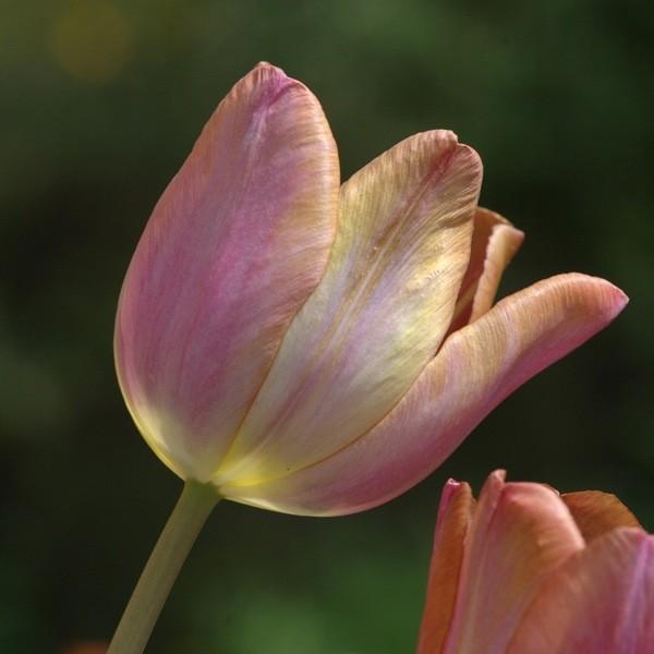Tulpe Malaika