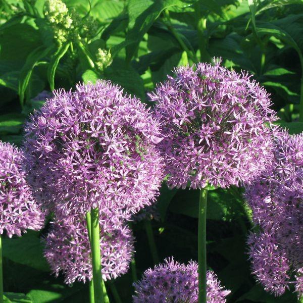 Allium aflatunense 10 Stück