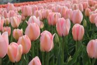 Tulpe Bella Blush