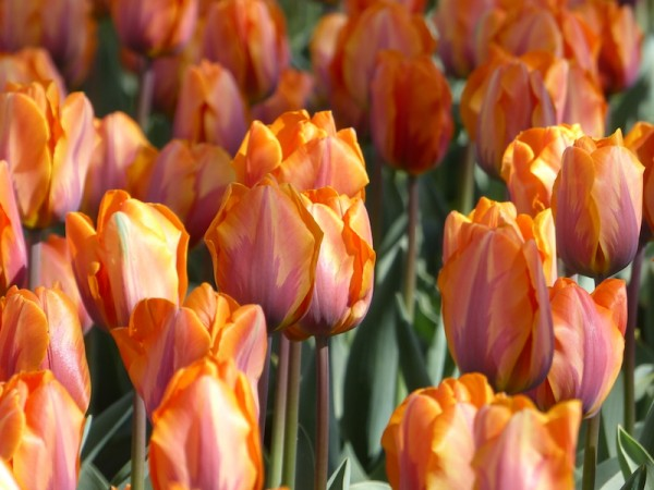 Tulpe Prinses Irene