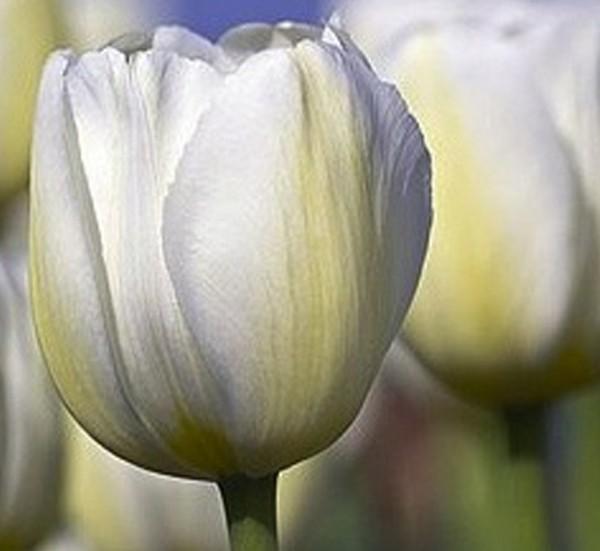 Tulpe Silent Peace