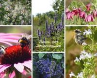 Stauden für Bienen und andere Insekten
