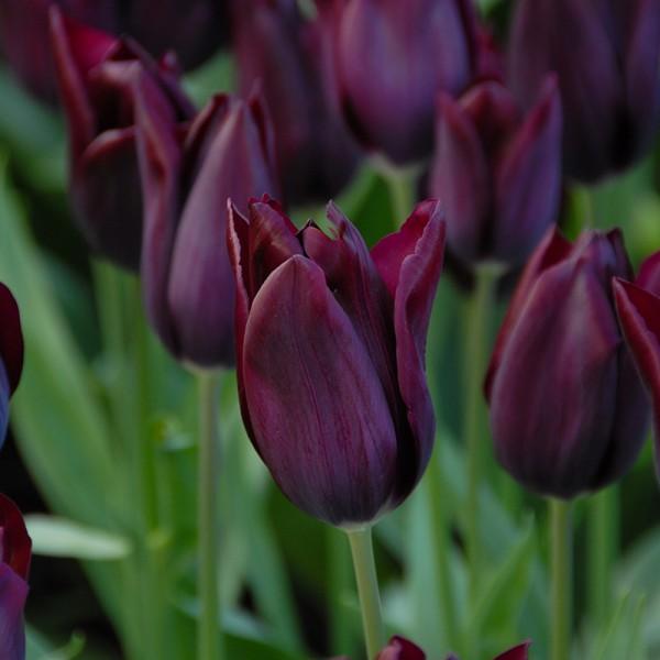 Tulpe Havran