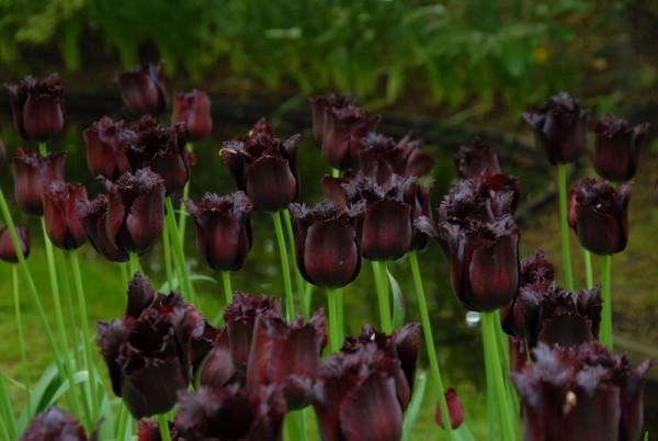 Tulpe 'Vincent van Gogh'
