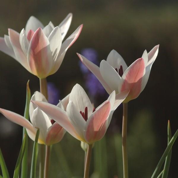 Tulpe Clusiana