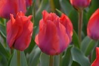 Tulpe Portland