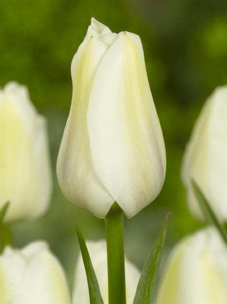 Tulpe Darwisnow
