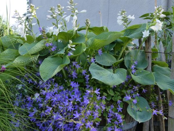 Hosta Bressingham Blue vor Glockenblume