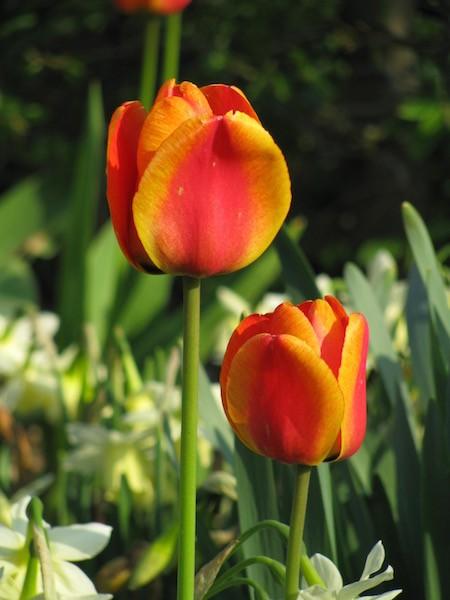 Tulpe Cape Cod