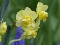 Narzisse Yellow Cheerfulness