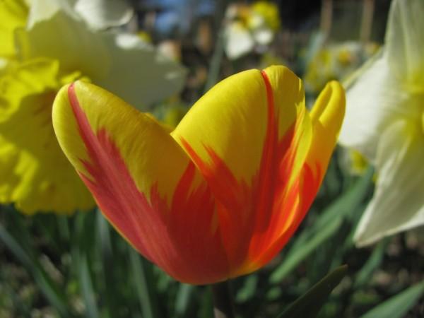 Tulpe Burning Heart