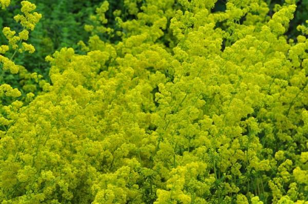 Eine gelbe Wolke: Das echte Labkraut