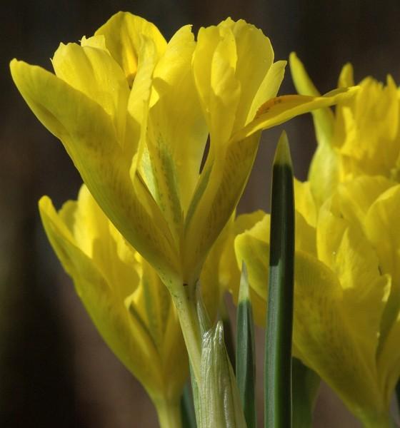 Iris danfordiae 25 Stück