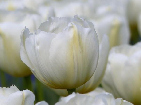 Tulpe Pays Bas