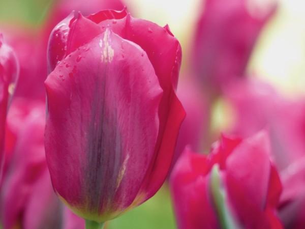 Tulpe Pimpernel