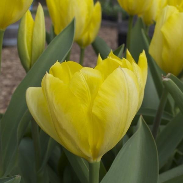 Tulpe Candela