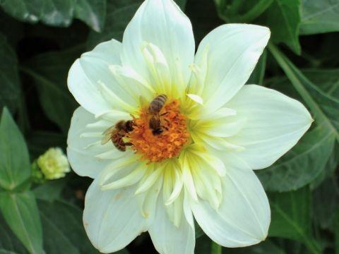 Zwei Bienen auf einer Dahlie