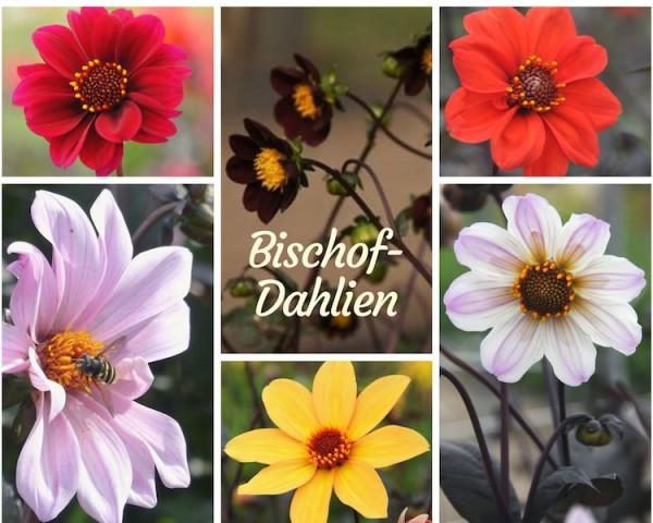 Bischof-Dahlien