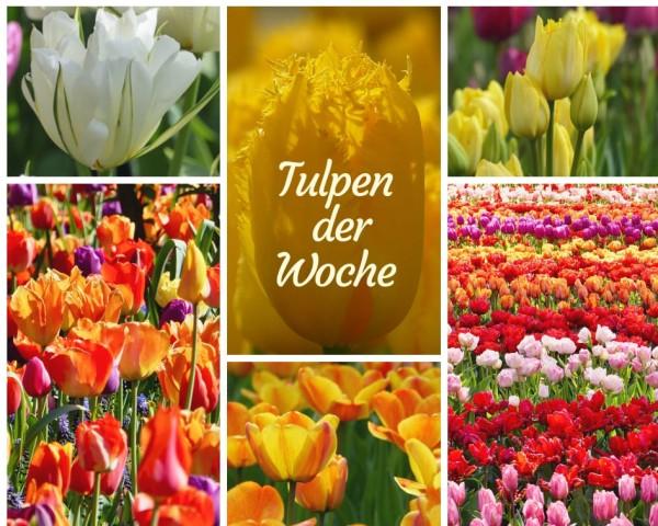 Tulpen-Angebot
