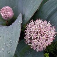 Allium karataviense 5 Stück