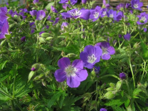 Waldstorchschnabel - Geranium sylvaticum 'Mayflower'