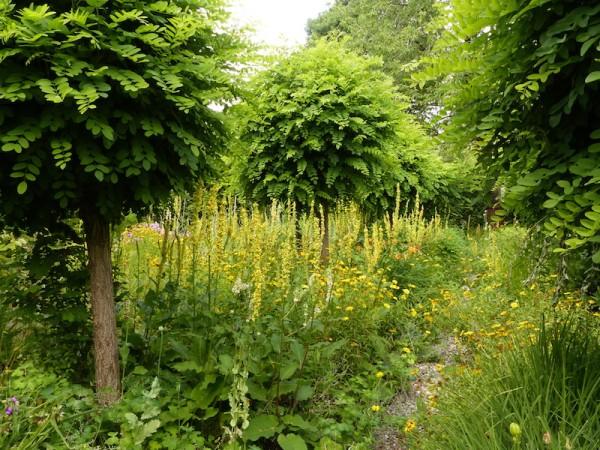 Königskerze – Verbascum nigrum