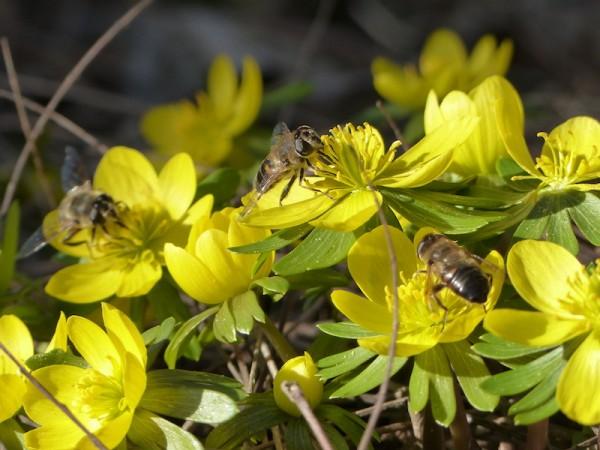 Winterling - Eranthis hyemalis - frühe Bienenweide
