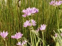 Allium unifolium Eros