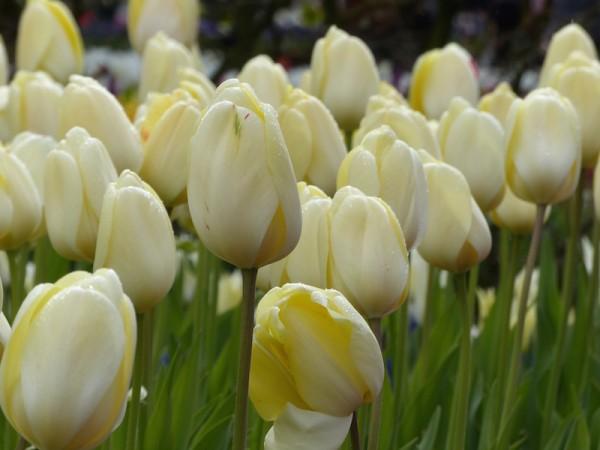 Tulpe Ivory Floradale