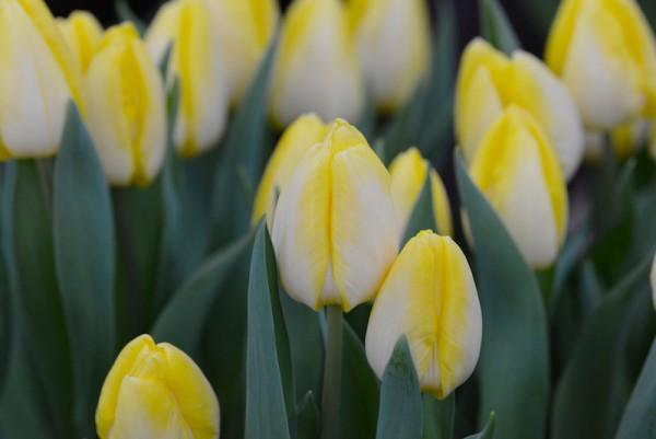 Tulpe Sunny Prince