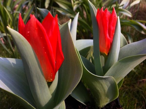 Tulpe Madame Lefeber