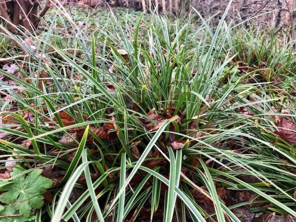 Carex morrovii 'Variegata'