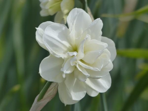 Narzisse Rose of May
